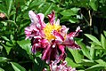 Paeonia lactiflora Circus Circus 3zz.jpg