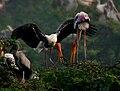 Painted Stork (Mycteria leucocephala) in Uppalpadu, AP W IMG 3307.jpg