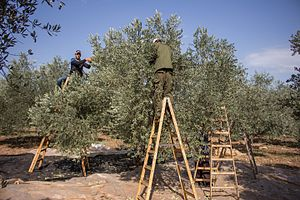 Agriculture in the Palestinian territories - Palestinian farmers harvesting olives using traditional methods