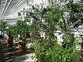 Palm house interior - Oslo Botanical Garden - IMG 9033.jpg