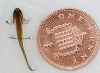 A newt larva with gills, fore- and hindlimbs beside a penny