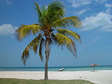 Photograph of coconut tree on Cuban beach