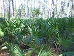 Palmetto Pines at St Marks NWR.JPG