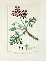 Pancrace Bessa 12 Pelargonium quinquevulnerum.jpg