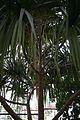 Pandanus-Africa (2) (11983407086).jpg