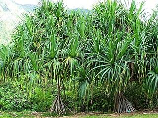 Pandanaceae family of plants
