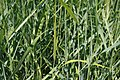 Panicum virgatum Prairie Sky 2zz.jpg