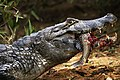 Pantanal caiman JF.jpg
