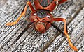 Paper Wasp - Polistes species, Leesylvania State Park, Woodbridge, Virginia.jpg