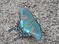 Papilio maackii on Rishiri Island5.jpg