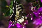 Papilio machaon (KPFC) (10).jpg