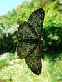 Papillon inconnu Périgueux face ventrale.JPG