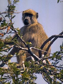 Are Elephants Mammals >> List of mammals of Angola - Wikipedia