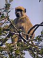 Papio cynocephalus (Malawi).jpg