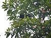 Paradigalla brevicauda in tree.jpg