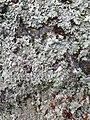 Parmelia saxatilis 106206347.jpg