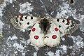 Parnassius phoebus.jpg