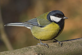 Parus major (koolmees)