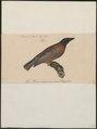 Passer swainsoni - 1835 - Print - Iconographia Zoologica - Special Collections University of Amsterdam - UBA01 IZ16000119.tif