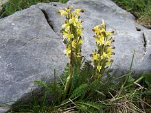 Pedicularis oederi T20-2.jpg