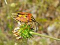 Pentatomid Bug (Carpocoris fuscispinus) (8338486362).jpg