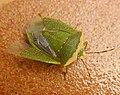 Pentatomidae. Nezara viridula - Flickr - gailhampshire.jpg