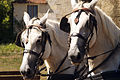 Percherons Blancs Cl J Weber0001 (23456659833).jpg