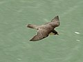 Peregrine off White Cliffs, Dover.jpg