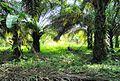 Perkebunan kelapa sawit milik rakyat (44).JPG