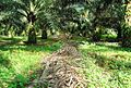 Perkebunan kelapa sawit milik rakyat (48).JPG