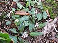 Persicaria tenuicaulis - Flickr - peganum.jpg
