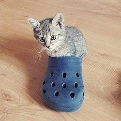 Petit chat dans une chaussure.jpg