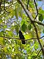 Petit colibri Huppé.jpg