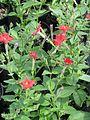 Petunia excerta - Flickr - peganum (1).jpg