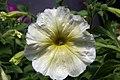 Petunia floribunda Yellow Madness 4zz.jpg