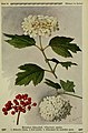 Pflanzen der Heimat (Tafel 55) (6099928832).jpg