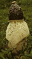 Phallus duplicatus 75246.jpg