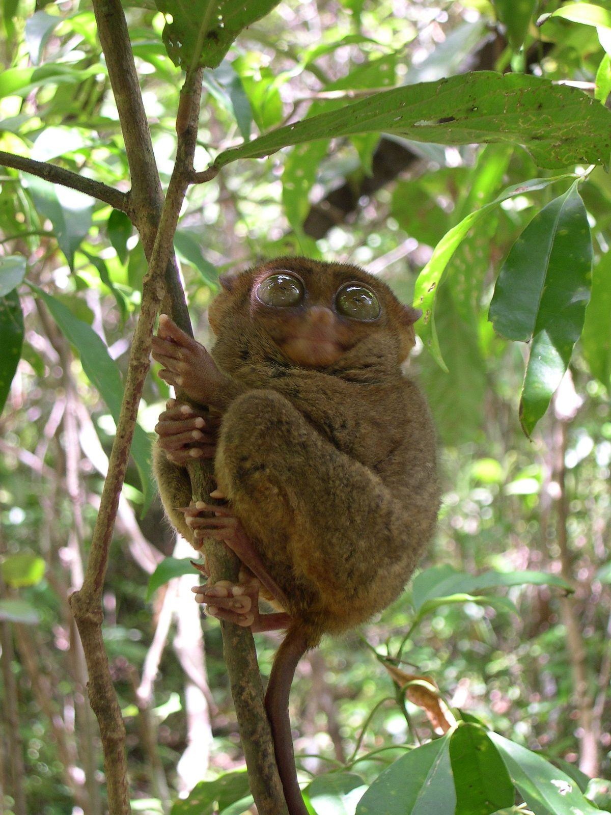 the philippine tarsier Tarsier definition, a small, arboreal, nocturnal primate of the genus tarsius, of indonesia and the philippines, having a long thin tail, very large immobile eyes, and prominent pads on the fingers and toes: all populations are dwindling.