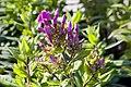 Phlox paniculata Purple Flame 1zz.jpg