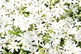 Phlox subulata Snowflake 1zz.jpg