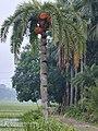 Phoenix dactylifera - Date palm.jpg