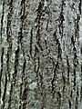 Photo of Ulmus hybrid cultivar 'Arno' bark, tree aged 20 years.jpg