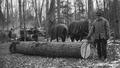 Photograph of Forest Ranger H. O. Nixon Scaling a Log - NARA - 2129534.tif