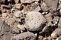 Phrynosoma modestum - Flickr - aspidoscelis (4).jpg