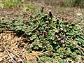 Phyla nodiflora-Capeweed,Carpet Weed, Kattuthippali, Neerthippali.jpg