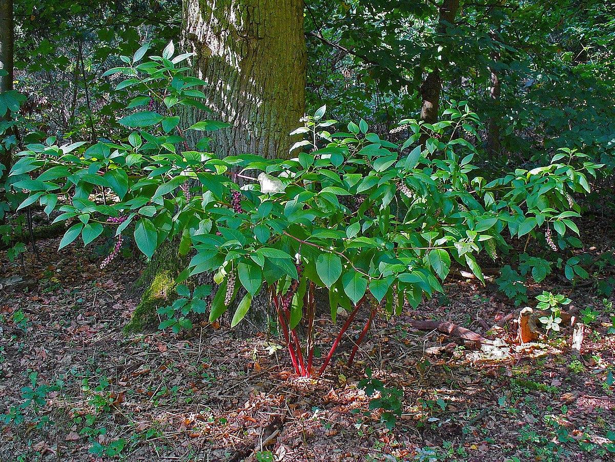 valued image set  phytolacca americana  american pokeweed