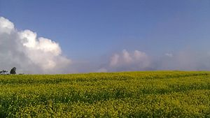 Dalchoki - Mustard fields of Dalchoki