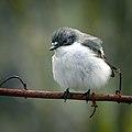 Pied flycatcher (27734667431).jpg