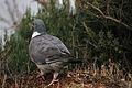 Pigeon ramier (2).JPG