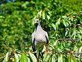 Pigeon ramier sur cerisier (3).JPG